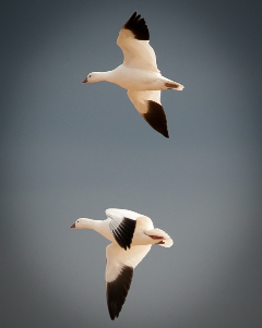 Snow Geese in Flight by Ron Mulbery