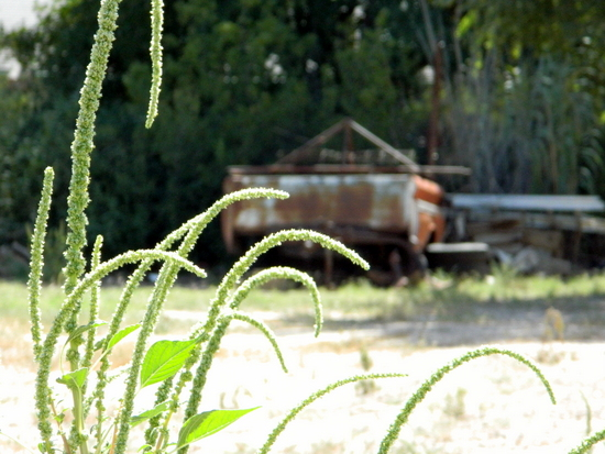 Weeds and Rusty Car