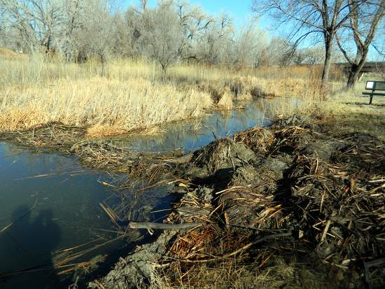 Beaver  Dam Along Willow Creek