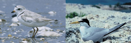 Piping Plover & Least Tern