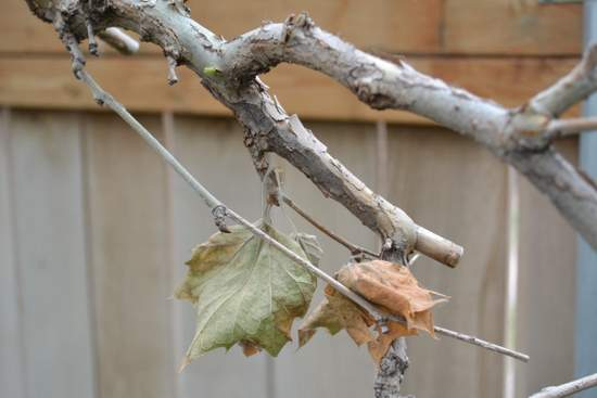 Anthracnose Damage to Local Sycamore Tree